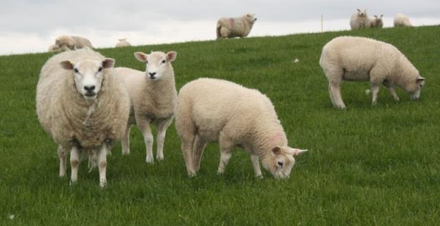 Pelatihan Teknik Budidaya Peternakan Domba Garut